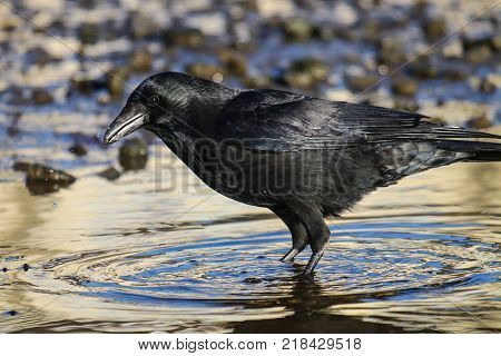 A carrion crow wading in bright blue water