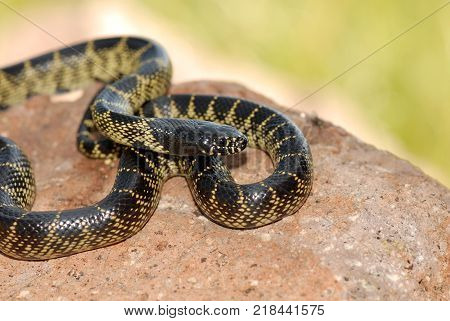 A desert kingsnake photographed in extreme southern Arizona.