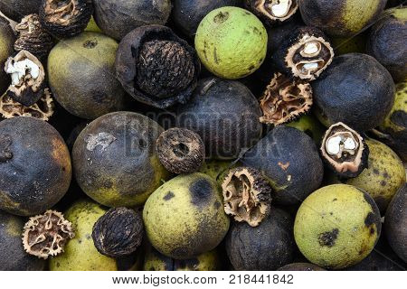 The Eastern black walnut tree is found mainly in North America and produces walnuts contained in thick round husks.  When immature the husks are green, and turn black with the ripening of the nut.
