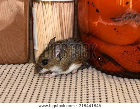 Side view of a brown house mouse between food products in a kitchen cabinet.
