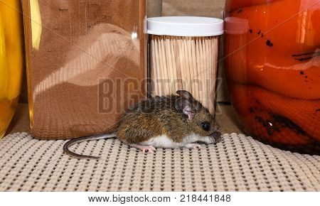 Side view of a wild brown house mouse, Mus musculus, in front of food in a kitchen cabinet.