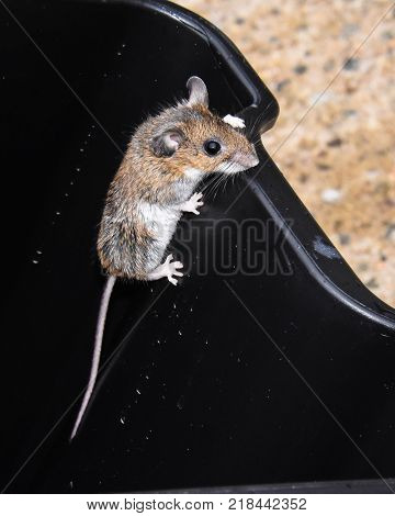 A brown house mouse climbing out of a large black trash can.