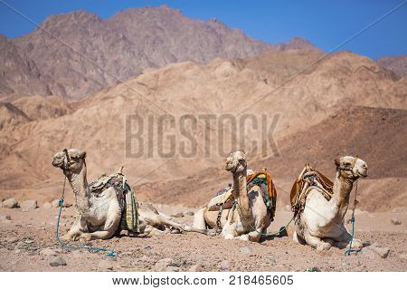 camels resting on sand dunes in a mountain desert