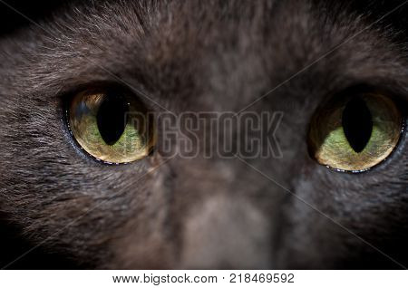 Chartreux cat eyes close up shot, focus on the left eye.