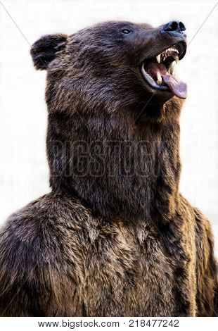 Grizzly bear with an open mouth and a tongue sticking out isolated on white background.