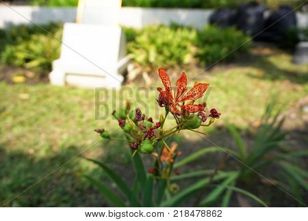 Blackberry Lily (Belamcanda chinensis) growth in the garden