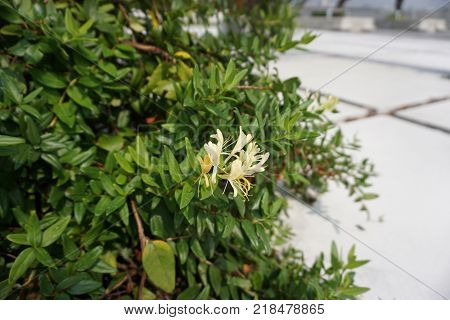 Flower of Japanese Honeysuckle (Lonicera japonica) plant growth in garden