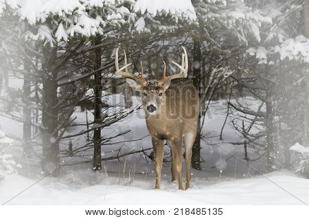 White-tailed deer buck coming out of the forest in the winter snow