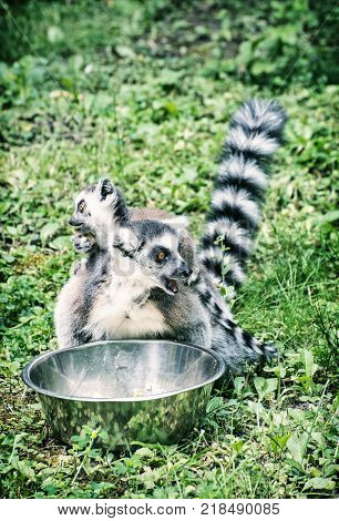 Ring-tailed lemur - Lemur catta - with cub are fed from the bowl. Beauty in nature. Animals in captivity. Blue photo filter.