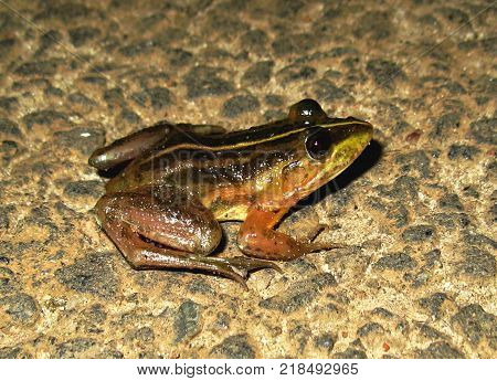 Exotic frog isolated at night closeup, India