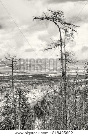 Spruce forest after natural disaster in High Tatras mountains Slovak republic. Winter natural scene. Black and white photo.