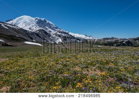 Wild Flower Meadow Below Mount Rainier peak in summer