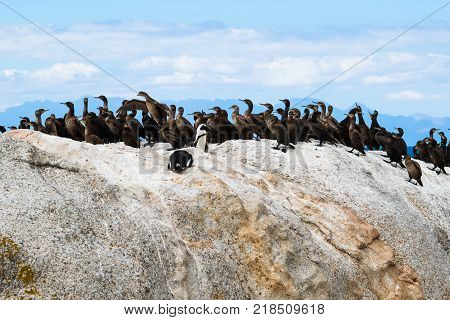 African penguins and Cape cormorant birds at Boulders Beach South Africa