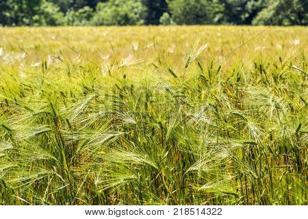 outdoor scenery of a grain field with spica