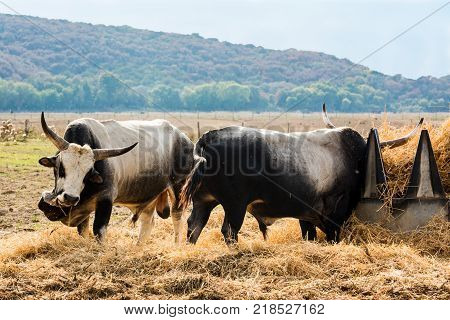 Tuscan Maremma cows with great colored skin and gigantic horns.