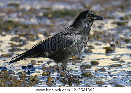 A carrion on a tidal mud flat covered in mud and stones