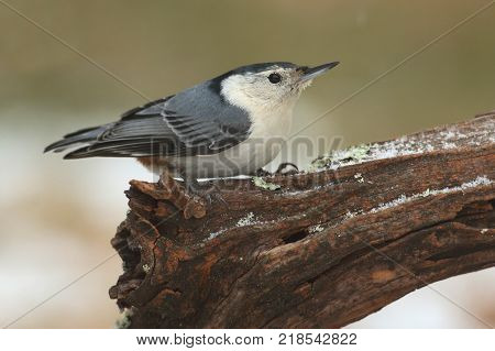 White-breasted Nuthatch (sitta carolinensis) on a branch with snow