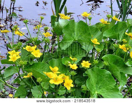 Lesser Celandine flower in garden in Vienna Virginia USA