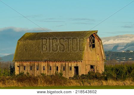 Old barn standing in field of overgrowth in Washington's Skagit Valley