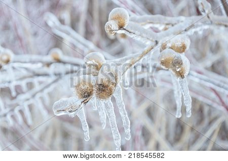 Winter background of frozen icy branches of tree in winter. Whitby Ontario Canada.