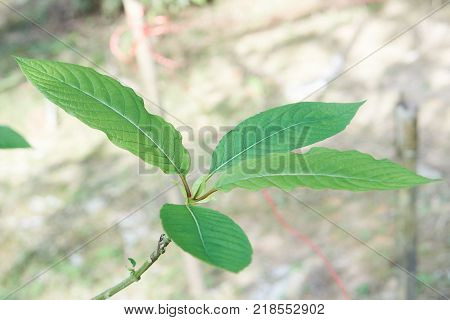 Kratom or Mitragyna speciosa. It can used in traditional medicine but minor side effects may include nausea, vomiting, and constipation but some peaple mix with cough syrup, soda, bone and ice.