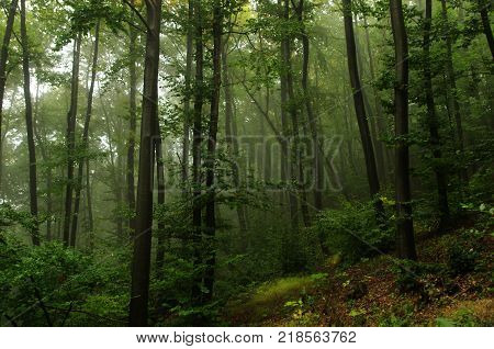 A green forest with some mist . Forest landscape