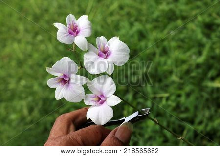 Pruning shears Scissors cut the orchids in the garden Nature background.