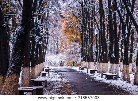 Trees with yellow leaves in the snow. Benches in the park in the snow