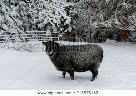 Sheep walking in snow at a farm in Sweden