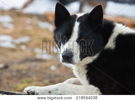 Hunting dog the East Siberian Laika is in the snow. Male sled dog black and white color looking at the camera. Kamchatka Siberia Russia