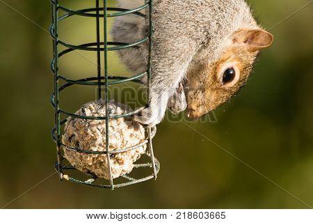Eastern gray squirrel (Sciurus carolinensis) eating on bird feeder. Rodent in the family Sciuridae taking food from bird feeder