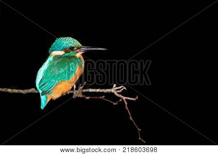 Kingfisher (Alcedo atthis) perched at night. Common kingfisher in the family Alcedinidae at rest on tree on river bank in profile