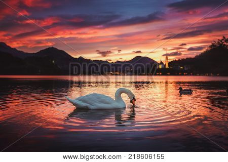 Sunrise at the beautiful Lake Bled with swan and the Pilgrimage Church of the Assumption of Maria and Bled Castle at background at autumn