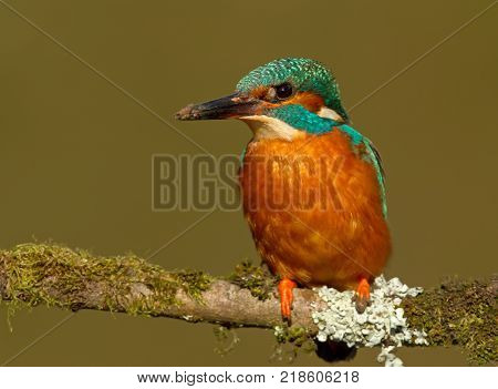 Kingfisher perching on a mossy perch with a muddy beak while excavating a burrow/nest, UK.