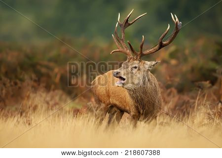 Red deer stag bellowing during a rutting season in autumn, UK.
