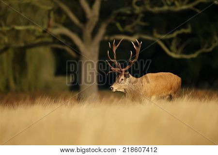 Red Deer stag standing under an old large tree during rutting season in autumn, UK.