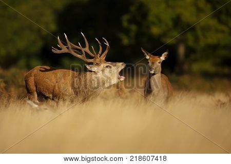 Red deer stag standing near a group of hinds and bellowing during the rutting season in autumn.