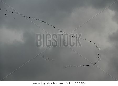 big flock of wild geese flying in formation on the gray cloudy sky