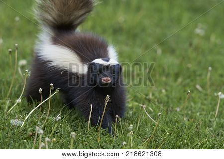 Humboldt's hog-nosed skunk Conepatus humboldti searching for food in Valle Chacabuco, Patagonia, Chile