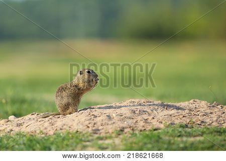 European ground squirrel above burrow - Spermophilus citellus