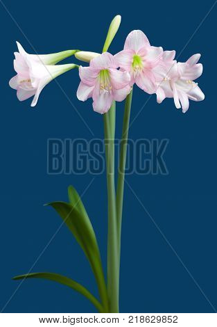 Hippeastrum Amaryllis sonatini Pink Rascal close up on blue background