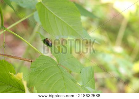 bug with brown elytra on the young verdant leaves