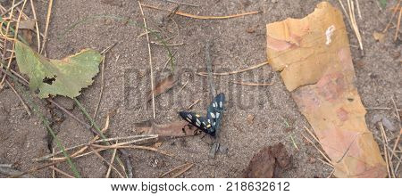 a nine-spotted moth crawling on the sand