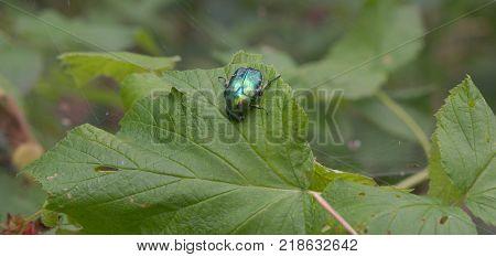 Cetonia aurata on green leaf tangled by the web. closeup