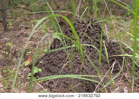 an anthill among high fresh green grasses