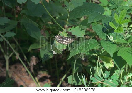 Pallas' sailer. Butterfly with variegated striped wings in living nature