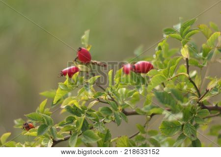 wild rose red berries. scenic foliaceous branch