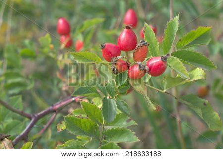 wild-rose berries on a long foliaceous branch