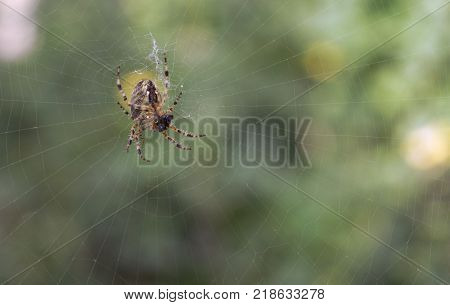 spider having lunch. Hairy and fat Cross Orb weaver closeup