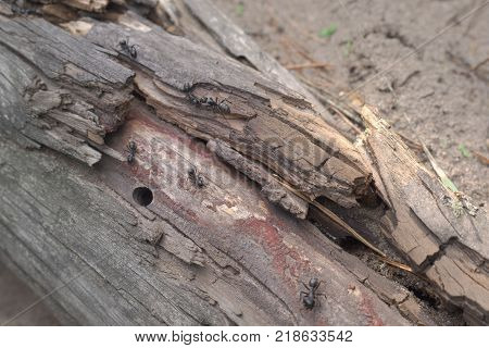young colony of the black carpenter ants organized in rotten trunk